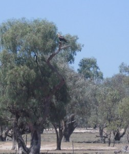 a wedge tail eagle