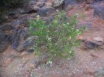 green fuschia in flower