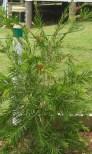 robyn gordon bottlebrush