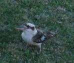 a very friendly kookaburra