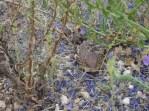 shingleback lizard -