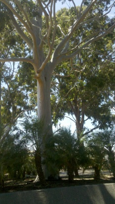 the trees at the Broken Hill civic centre