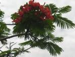 cropped-flame-tree-flowers.jpg