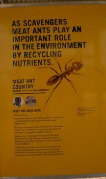 meat ants