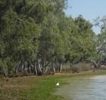 spoonbill ibis at lake hourdaman