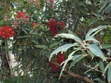 flowering gum 2