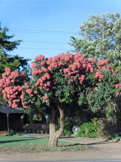 red-flowering-gum-duncans-road-1